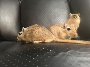 Gerbils for Adoption