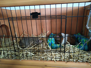 2 Guinea pigs, hutch, water bottle, leash/harness and bed Frenchs Forest Warringah Area Preview