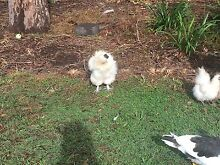 FREE - Mature Silkie Rooster Caboolture Caboolture Area Preview