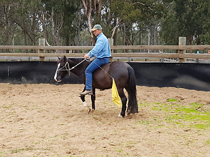 Quiet Brumby Mare 13.1h rising 5yo Bairnsdale East Gippsland Preview