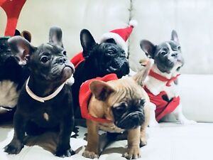 Christmas French bulldogs: Merle, BLUE,Red , Brindle ❤️