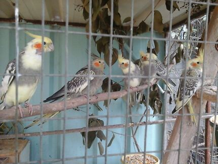 Cockatiels for sale