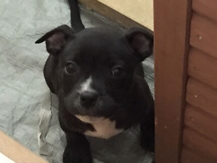 Purebred English Staffy Puppies Morayfield Caboolture Area Preview