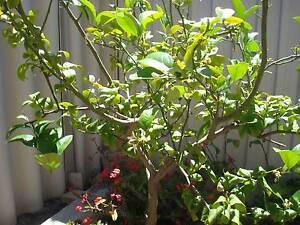 fruit trees in perth region wa gumtree australia free local classifieds. Black Bedroom Furniture Sets. Home Design Ideas