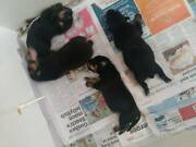 kelpie x stumpy tail cattle dog puppies Victor Harbor Victor Harbor Area Preview