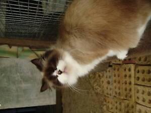 Ragdoll Female Cat Glen Martin Dungog Area Preview