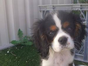 Cavalier king charles male Yanchep Wanneroo Area Preview