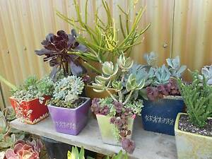 Ferns, Bromeliades, Succulents, in hand painted pots West Ballina Ballina Area Preview
