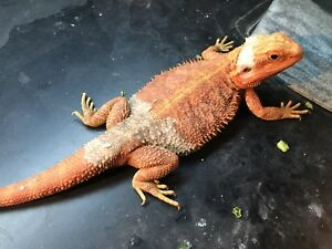 Bearded dragon. Extreme red
