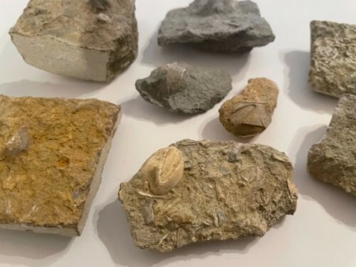 Alabama Fossil Blastoids in rock Pentremites godoni Trilobite Age 1 PER PURCHASE