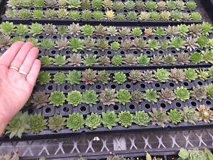 Stunning Perennial Succulents