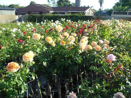 ROSES NURSERY - ROSES SPECIALISTS - ROSE BUSHES - STANDARD ROSES Cannington Canning Area Preview