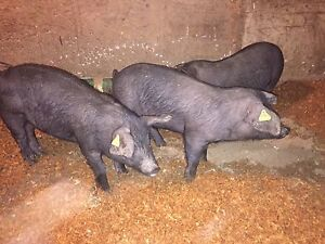2 castrated pigs