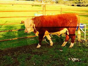 Hereford Bull Quipolly Liverpool Plains Preview