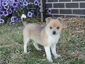 Merle Tan Male Pomeranian x Chihuahua (Pomchi) Puppy for
