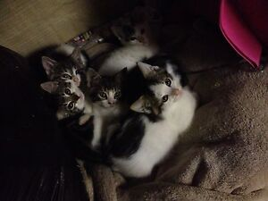 FREE KITTENS Keilor Downs Brimbank Area Preview