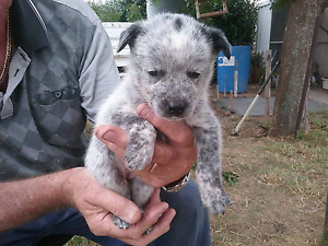 Blue Heeler pups for sale Wybong Muswellbrook Area Preview
