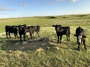 Black Angus Cows for Sale
