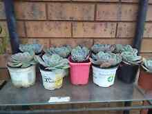 Succulent plants all$2 each! Bidwill Blacktown Area Preview