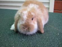 purebred baby mini lop rabbits Sydenham Brimbank Area Preview
