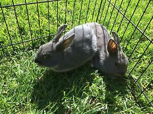 Rabbits for sale Frankston South Frankston Area Preview