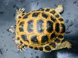 Adult male Russian tortoise trade leopard or red foot tortoise