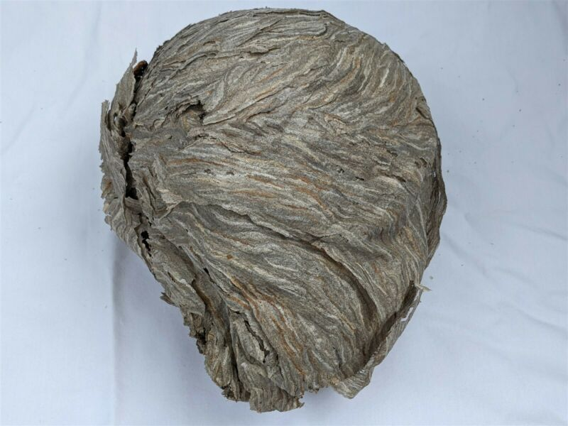 Black Hornet Nest Display Taxidermy Round REAL Paper Wasp Bees Bald Face