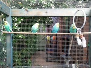 Rainbow budgies + other colours