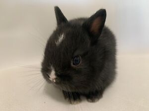 Gorgeous female purebred Netherland dwarf baby bunny for sale!