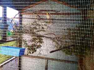 After any unwanted cockatiels Merriwa Wanneroo Area Preview