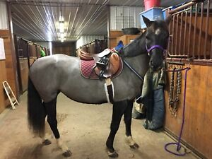 Looking for someone to exercise my horse!