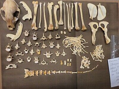 Taxidermy skeleton  Raccoon dissarticulated  sorted by bone type female
