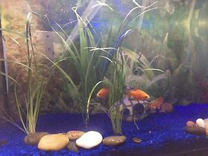 Fish tank with 3 rosy barbs and several juvenile apple snails.