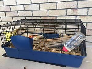 guinea pig Brisbane City Brisbane North West Preview