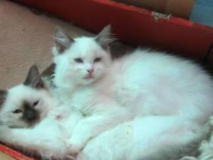 Ragdoll Kittens from registered breeder