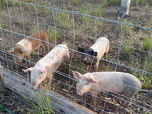 Weaner pigs Yarwun Gladstone Surrounds Preview