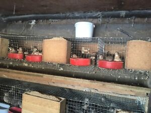 Quails and cages for sale