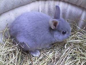 Purebred Netherland Dwarf bunnies.8 weeks old and available now. Mentone Kingston Area Preview