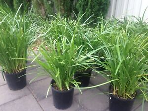 Liriope Evergreen Home Garden Gumtree Australia Free Local
