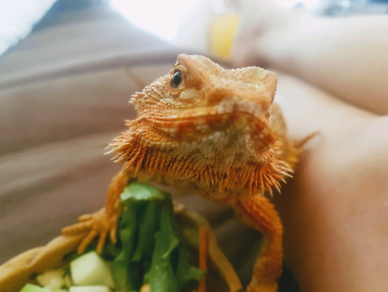 """Ruby"" Orange phase 5 yr old female Bearded Dragon -"