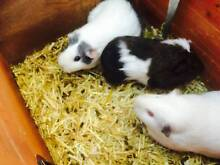 3 adult guinea pigs and cage free to good home Annandale Leichhardt Area Preview