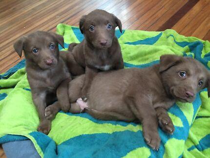 7 kelpie x pups for sale