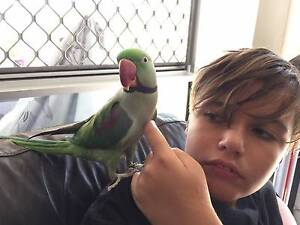 Alexandrine Parrot bird approx 18mths - 2 yrs, includes everything! Coomera Gold Coast North Preview