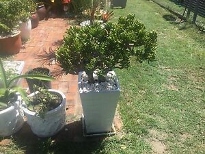 Coral succulent in large white pot Golden Beach Caloundra Area Preview
