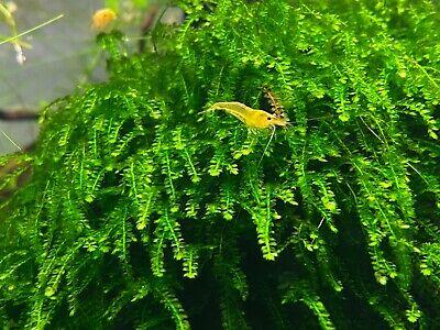 Aquarium Moss ADA RARE (Callicostella Prabaktiana) Authentic!-EASY-bundle SALE!