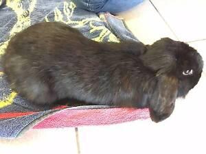 Found rabbit Perth Perth City Area Preview