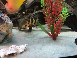 Two large clown loaches forsale