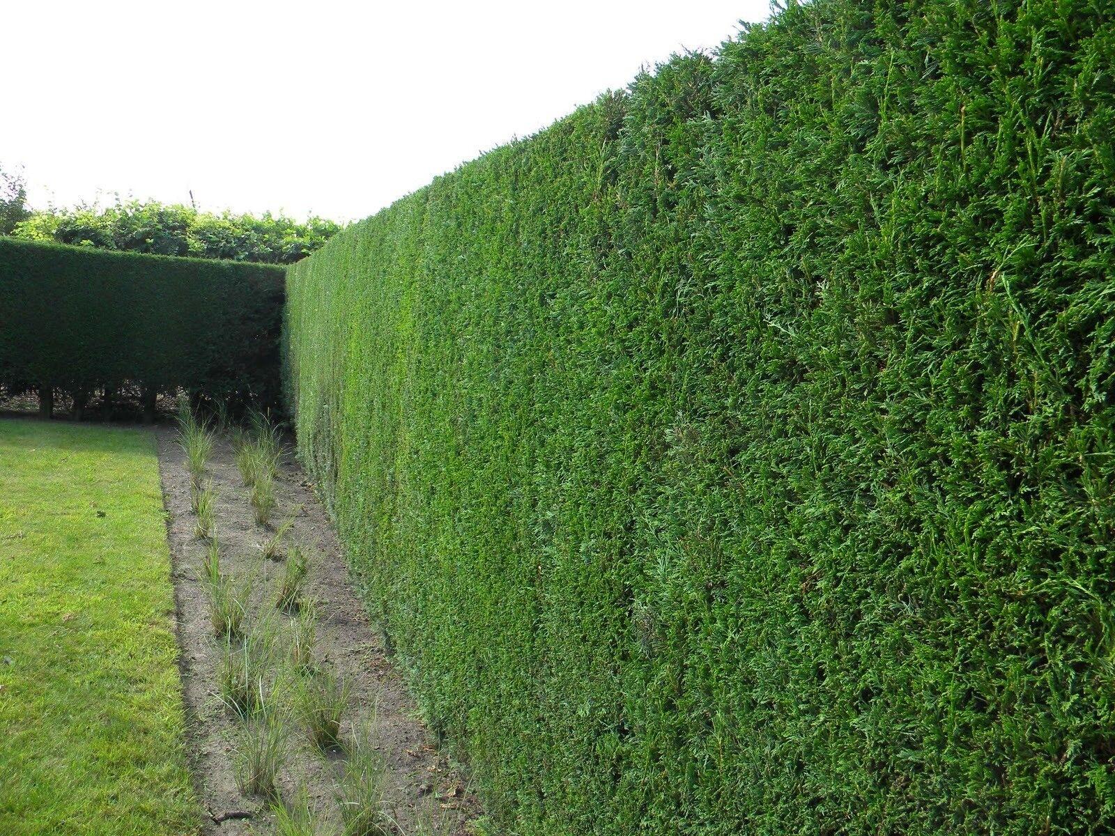 how to take yedda hawthorn cuttings