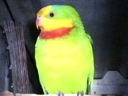 Male superb parrot