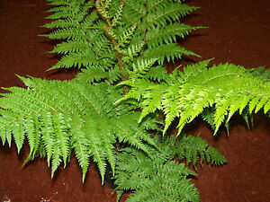 AUSTRALIAN TREE FERN IN QUART CONTAINERS